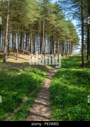 Stabilised sand dunes colonised by pine woodland at Whiteford Burrows on the Gower peninsula of South Wales UK - Stock Photo