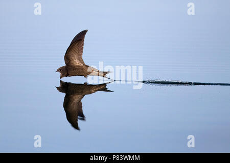 Common Swift (Apus apus) - Stock Photo