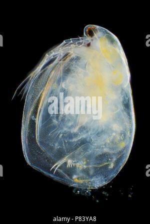 Microscopic view of freshwater water flea (Simocephalus vetulus). Darkfield illumination. - Stock Photo