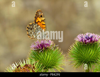Argusvlinder op distel; Wall Brown on thistle - Stock Photo