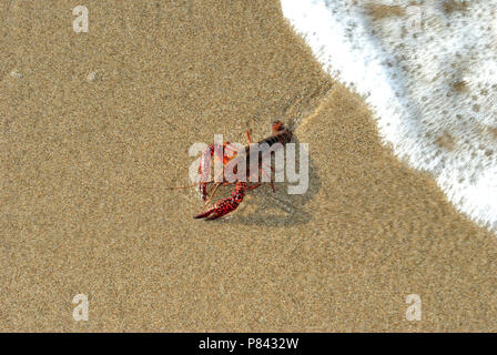 live lobster on sand - Stock Photo