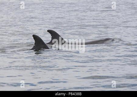 Twee Tuimelaars bij de kust van Walvisbaai Namibie, Two Common Bottlenose Dolphins near the coast of Walvisbaai Namibia - Stock Photo