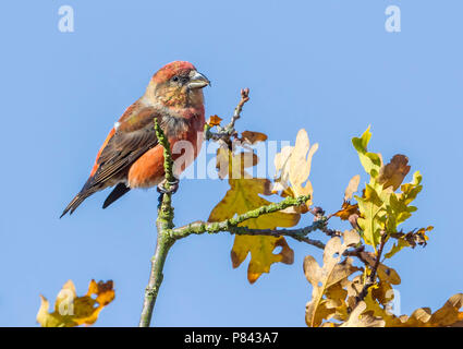 1st winter male Common Crossbill perched on a branch in Averbode Reserve, Limburg, Belgium. November 2013. - Stock Photo