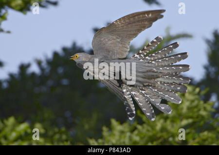 Common Cuckoo flying; Koekoek vliegend - Stock Photo