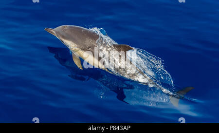 Short-beaked Common Dolphin jumping in front of our boat off Graciosa, Azores. August 2012. - Stock Photo