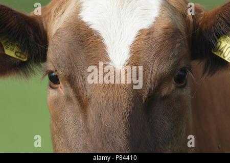 Close up van een koe; Cow close up - Stock Photo