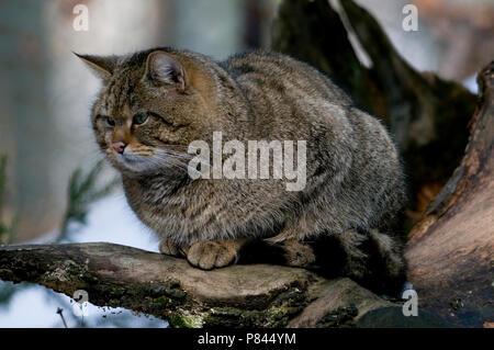 Europese Wilde Kat in gevangenschao; Captive European Wild Cat - Stock Photo
