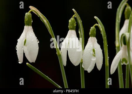Close-up van de bloem van een sneeuwklokje, Close up of a snowdrop flower - Stock Photo