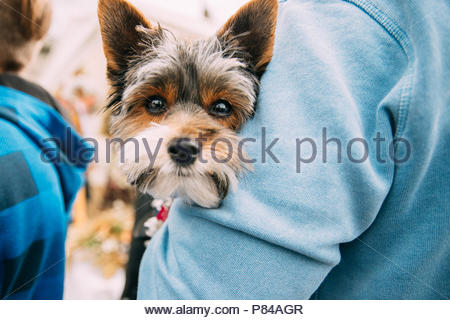 Man Holding In Hands Small Funny Cute Yorkshire Terrier Dog. Curious Looking In Camera. - Stock Photo