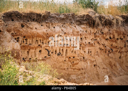 European Sand Martin Active Breeding Colony Near Burrows In Sand River Coast. Riparia Riparia Is A Migratory Passerine Bird In The Swallow Family. Bel - Stock Photo