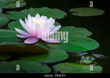 Stunning Water Lily and a Chilling Frog on a Petal, Springtime in a Pond - Stock Photo