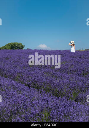 A young woman in a field of summer flowering Lavender plants, July, Gloucestershire, UK - Stock Photo