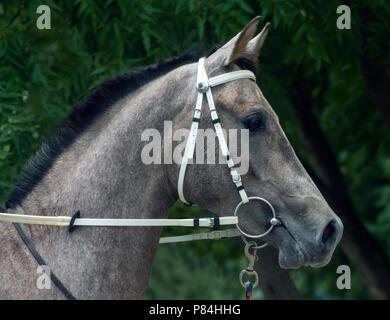 Grey arabian horse stallion portrait,Northern Caucasus. - Stock Photo