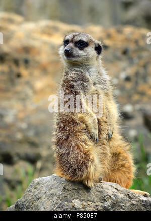 Meerkat family member (Suricata suricatta) on guard - Stock Photo