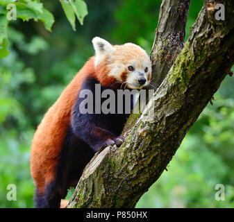 Red Panda, Firefox or Lesser Panda (Ailurus fulgens) - Stock Photo