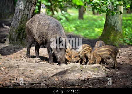Wild boar family with striped piglets in the forest - Stock Photo