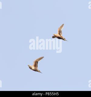 Roodbuikzandhoen, Chestnut-bellied sandgrouse, Pterocles exustus - Stock Photo