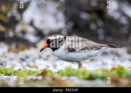 Endangered Shore Plover (Thinornis novaeseelandiae) on the Chathams Islands, New Zealand. Very rare with only a remaining world population of around 2 - Stock Photo