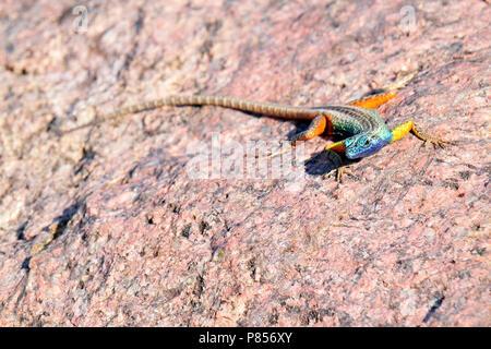Broadleys Rotshagedis, Broadley's flat lizard, Platysaurus broadleyi - Stock Photo