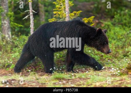 Eurasian Brown Bear walking into the wood, close to a lake near Vartius. June 2008. - Stock Photo