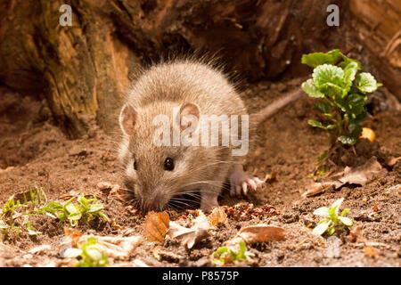 Bruine Rat; Brown Rat - Stock Photo