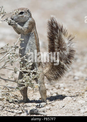 Kaapse grondeekhoorn mannetje foeragerend Namibie, Cape Ground Squirrel male foraging Namibia - Stock Photo