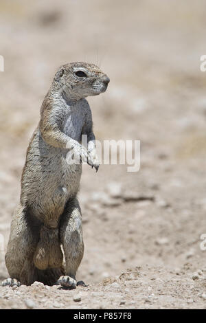 Kaapse grondeekhoorn mannetje Namibie, Cape Ground Squirrel male Namibia - Stock Photo