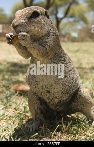 Kaapse grondeekhoorn etend Namibie, Cape Ground Squirrel eating Namibia - Stock Photo