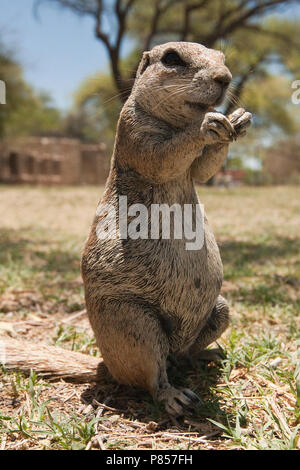 Kaapse grondeekhoorn etend Namibie, Cape Ground Squirrel eating Namibia - Stock Photo