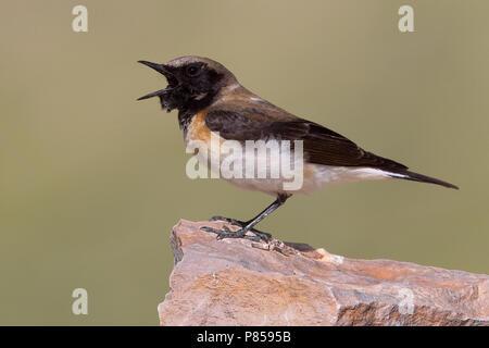 Oostelijke Blonde Tapuit vrouw roepend op rots; Eastern Black-eared Wheatear female calling on rock - Stock Photo