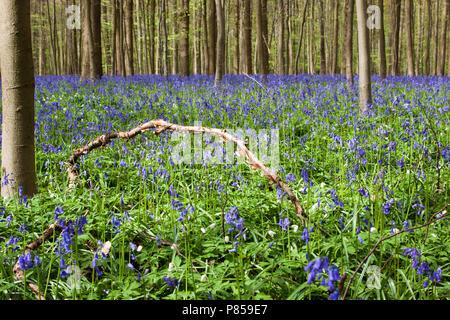 Wilde Hyacinth in het Hallerbos België; English Bluebell at Hallerbos Belgium - Stock Photo