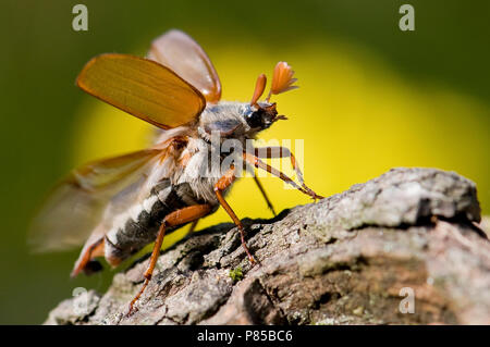Cockchafer taking off - Stock Photo