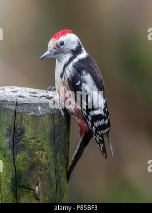 Adult Middle Spotted Woodpecker sitting on a feeding point, Auderghem, Brussels, Belgium. March 05, 2018. - Stock Photo