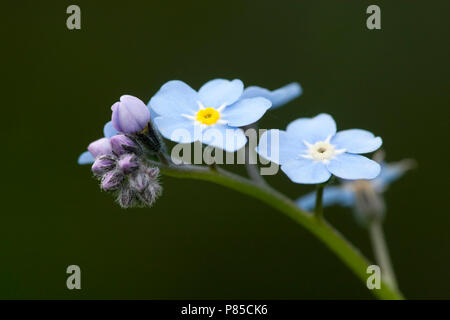 Close-up van een Vergeet-mij-nietje, Close up of a Forget-me-not - Stock Photo
