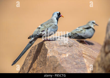 Couple of Namaqua Dove walking near Atar, Adar, Mauritania. April 05, 2018. - Stock Photo