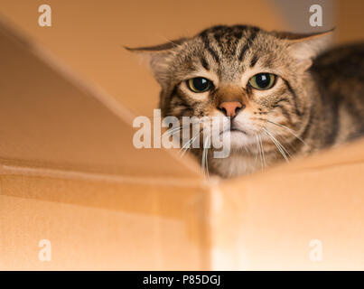 Beautiful cat playing hide and seek in a cardboard box - Stock Photo