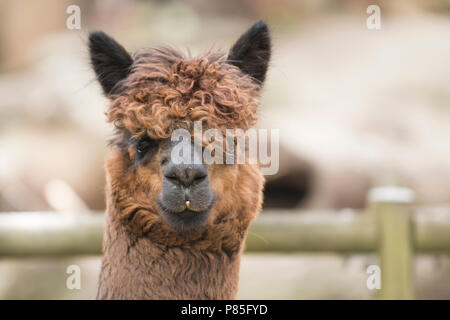 A portrait of a Suri alpaca with crinkled coat hair. Copy Space - Stock Photo