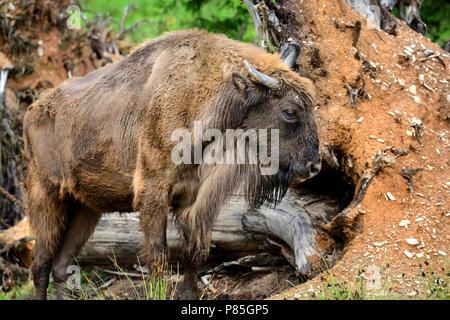 European Bison in the forest. Wisent. Bison bonasus - Stock Photo