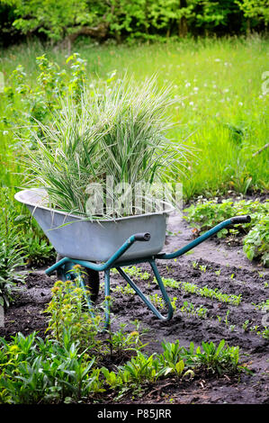 Wheelbarrow full with decorative sedges (Reed canary grass) for planting in a garden - Stock Photo