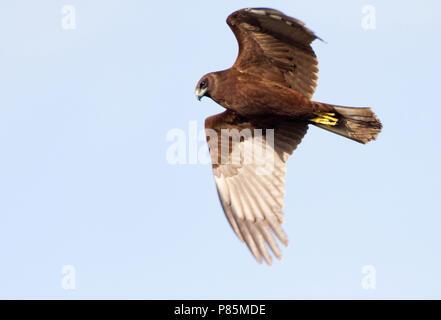 Immature Western Marsh Harrier (Circus aeruginosus) flying above a field - Stock Photo