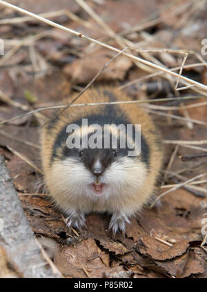 Berglemming; Norway Lemming - Stock Photo