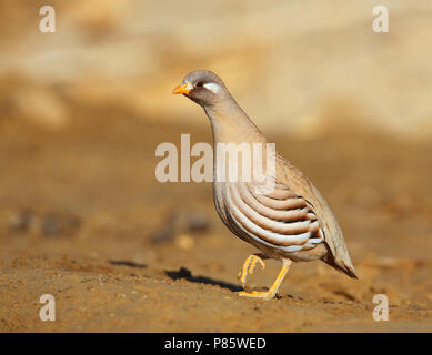 Sand Partridge (Ammoperdix heyi), male at Salalah, Oman. - Stock Photo