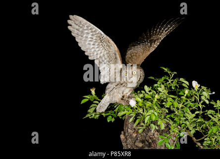 Eurasian Scops Owl (Otus scops) - Stock Photo