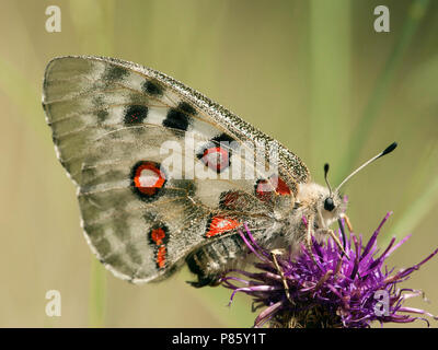 Apollovlinder / Apollo (Parnassius apollo) - Stock Photo