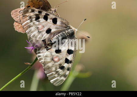Apollovlinder / Apollo (Parnassius apollo) - Stock Photo
