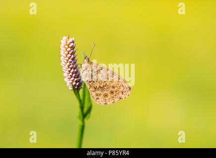 Argusvlinder, Wall Brown - Stock Photo