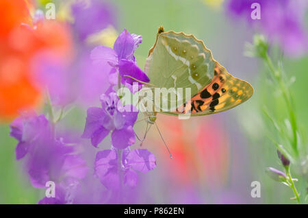 Kardinaalsmantel op bloem, Cardinal on flower - Stock Photo