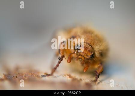 Close up van de kop van een kever, Closeup of the head of a beetle - Stock Photo