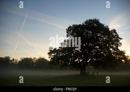 Oude eik op Landgoed Hilverbeek Nederland, Old oak at Estate Hilverbeek Netherlands - Stock Photo