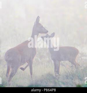 Ree; Roe Deer - Stock Photo